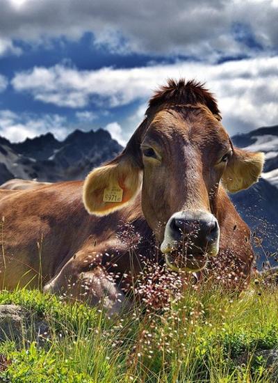 Les Vaches : histoires à ruminer